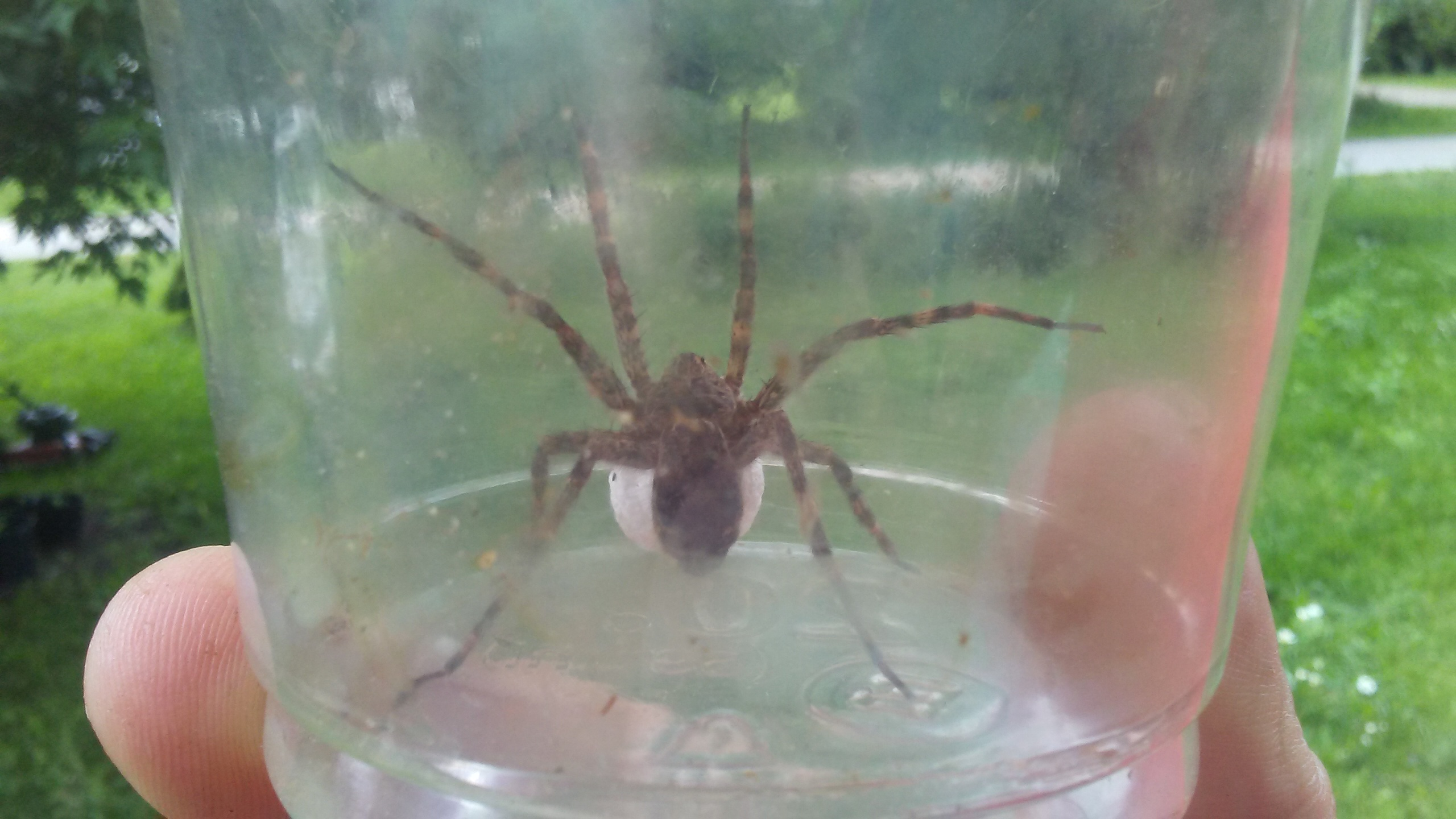 Anyone know what kind of spider this michigan sportsman for Fishing spider michigan